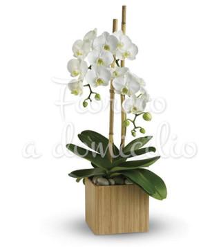 Fiori a domicilio: orchidea phalenopsis bianca