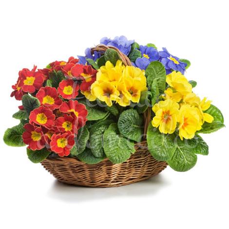 Cesto piante di primule for Primule immagini