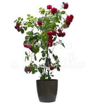Fiori a domicilio: pianta di rose