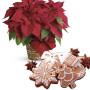 Fiori a domicilio  Stella di Natale rossa con pan di zenzero