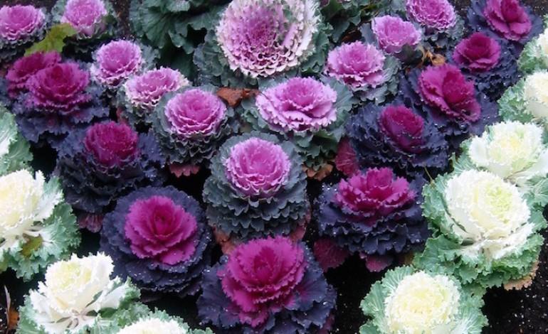 Fiori di novembre i cavoli ornamentali fiori a domicilio for Fiori ornamentali