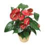 pianta-di-anthurium