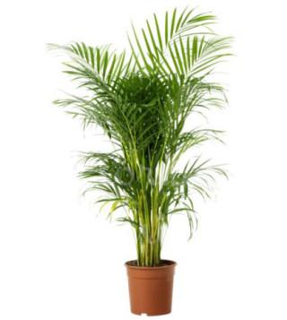 pianta-di-cri