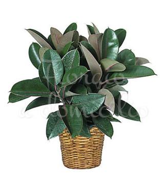 pianta-di-ficus