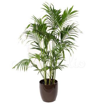 pianta-di-kentia