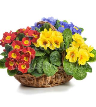 Fiori a domicilio: cesto di piante di primule