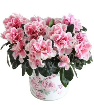 Fiori a domicilio: pianta di azalea