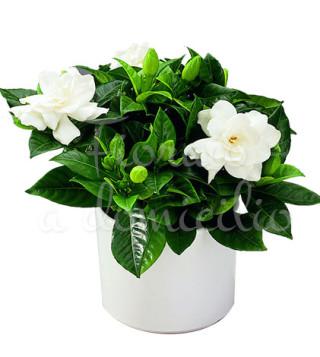 Fiori a domicilio: pianta di gardenia
