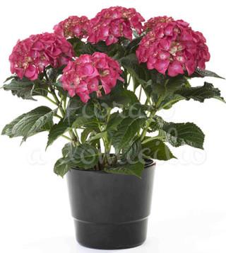 Fiori a domicilio: pianta di ortensia