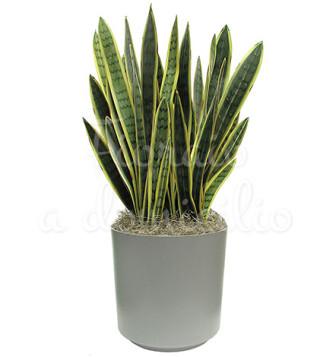 Fiori a domicilio: pianta di sanseveria