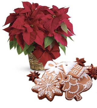Fiori a domicilio |Stella di Natale rossa con pan di zenzero